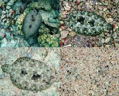 Image of Flowery Flounder