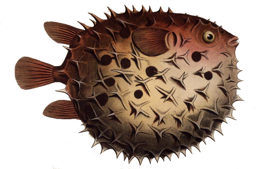 Image of Ballonfish