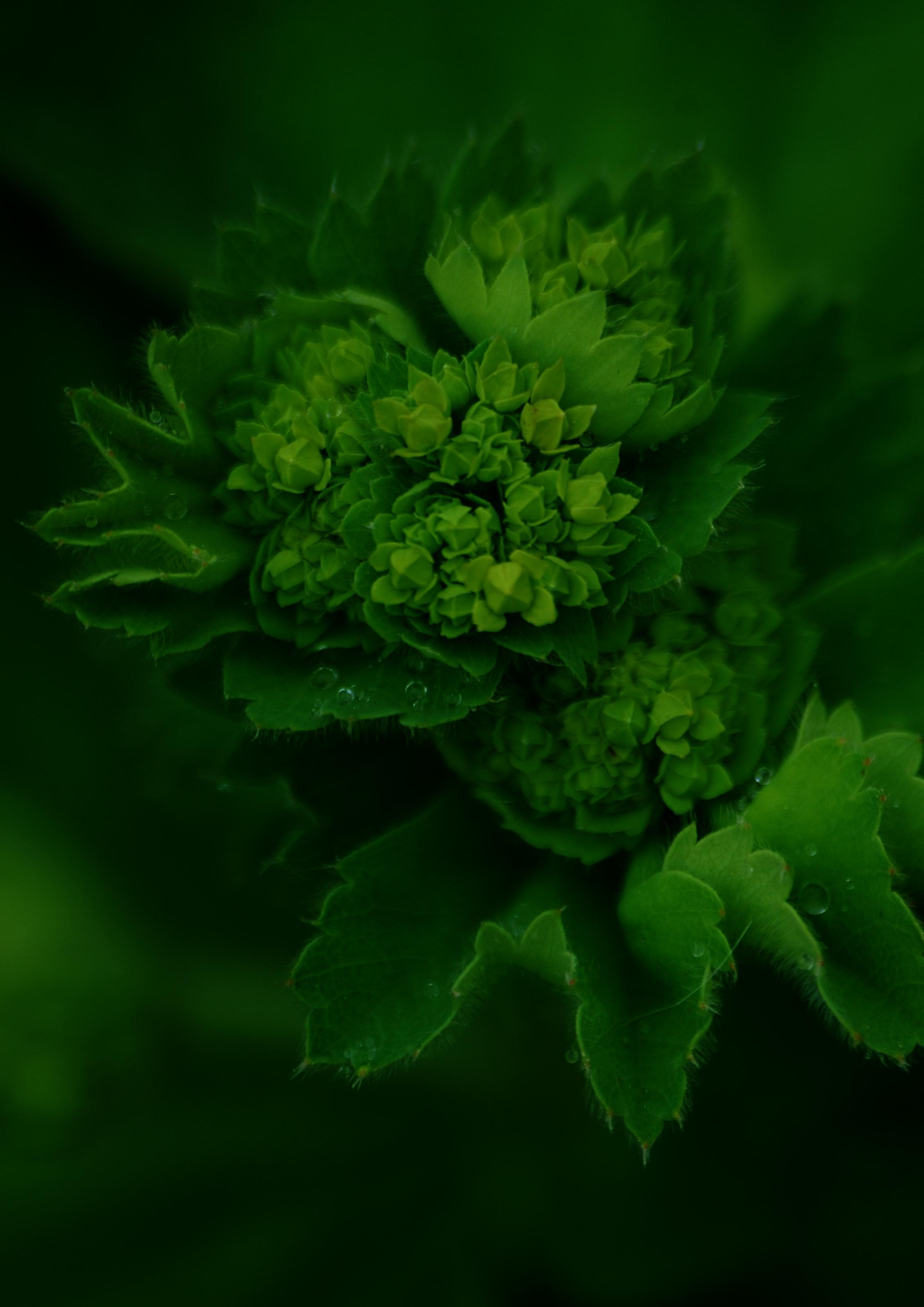Image of <i>Alchemilla vulgaris</i>