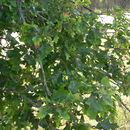 Image of northern pin oak