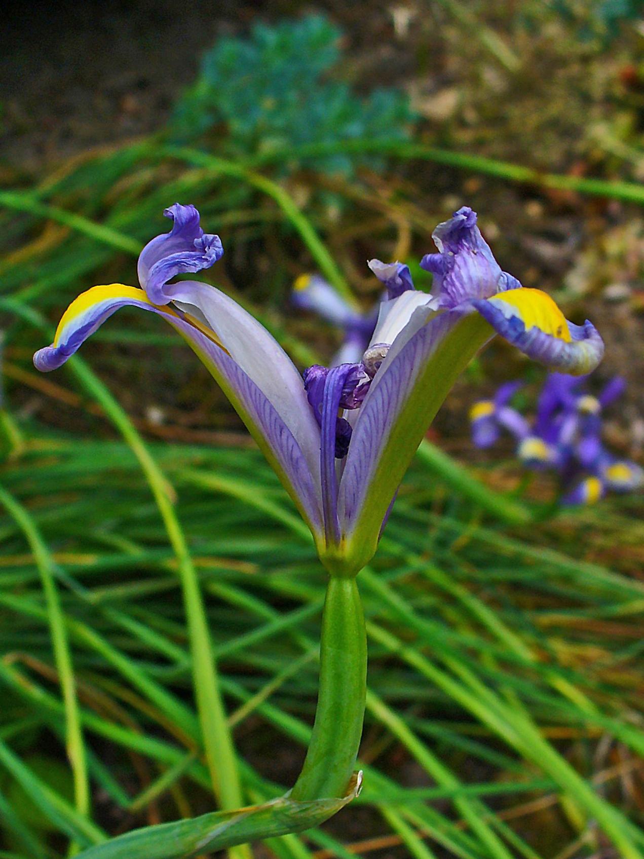 Image of Spanish iris
