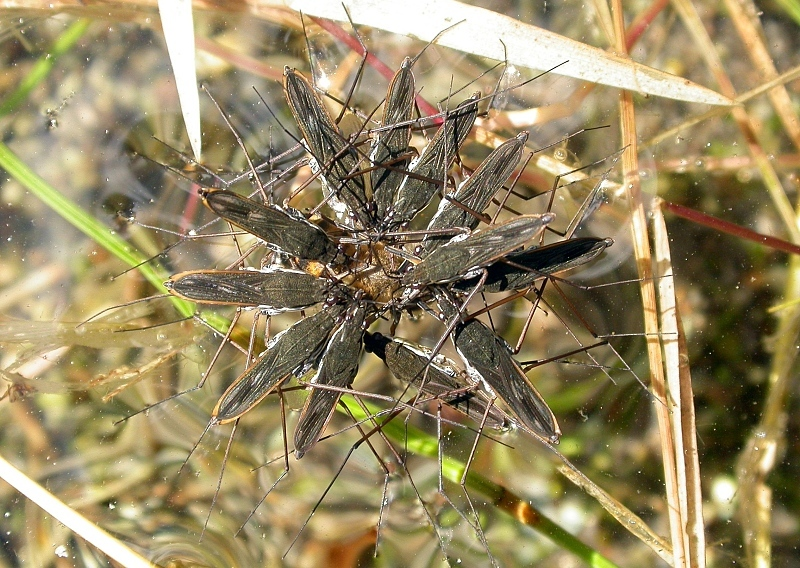 Image of water striders