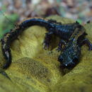 Image of Gold-striped salamander