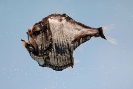 Image of Atlantic Silver Hatchetfish