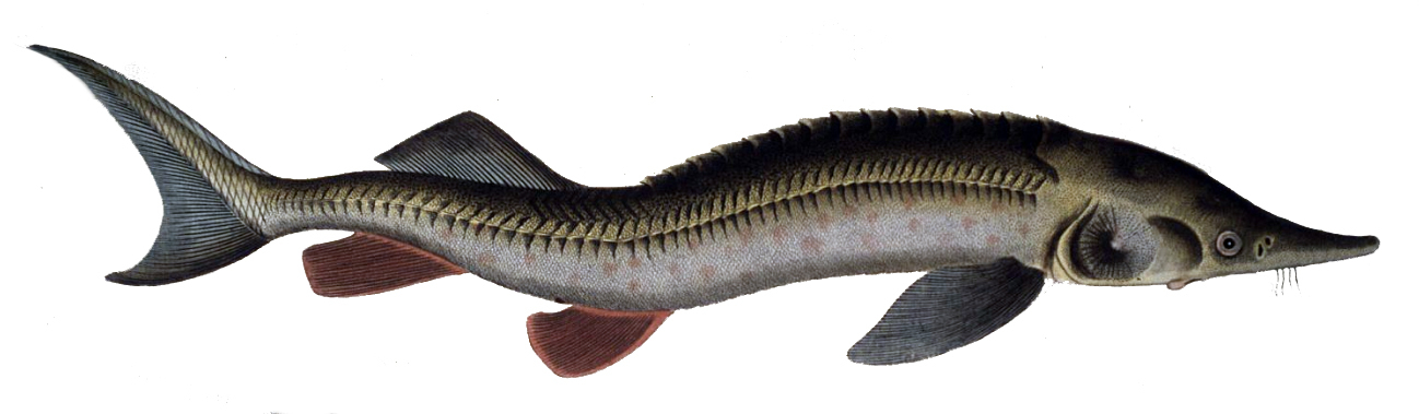 Image of Sterlet Sturgeon