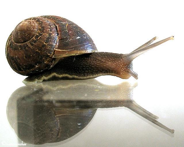 Image of Brown Garden Snail