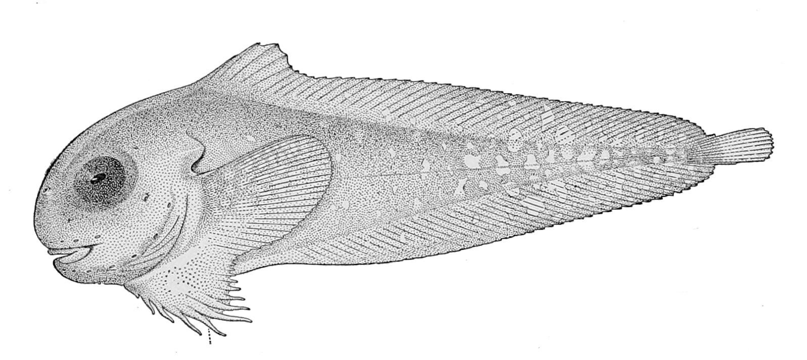 Image of Bigeye snailfish