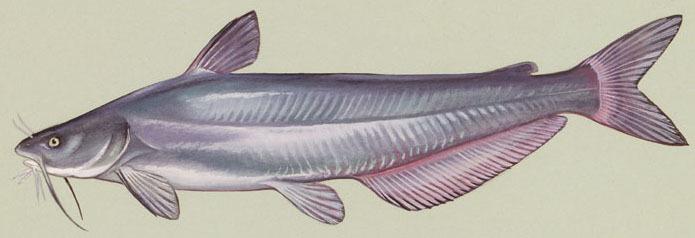 Image of Blue catfish
