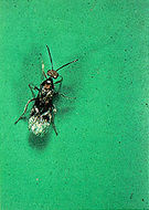 Image of <i>Habrobracon hebetor</i> (Say 1836)