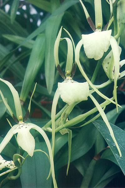Image of <i>Brassia gireoudiana</i> Rchb. fil. & Warsz.