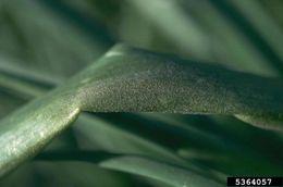 Image of Peronospora