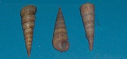 Image of <i>Turritella communis</i>