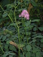Image of columbine meadow-rue