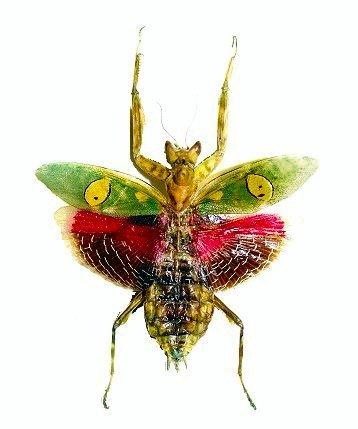 Image of Indian flower mantis