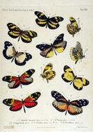 Image of <i>Dismorphia arcadia</i> (Felder & Felder 1862)