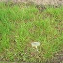 Image of Plicate Sweet-grass