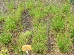 Image of <i>Luzula multiflora</i> (Retz.) Lejeune