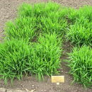 Image of Mexican muhly