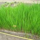Image of prairie cordgrass