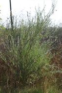 Image of northwest sandbar willow