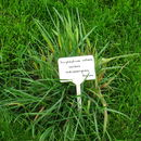 Image of Indiangrass