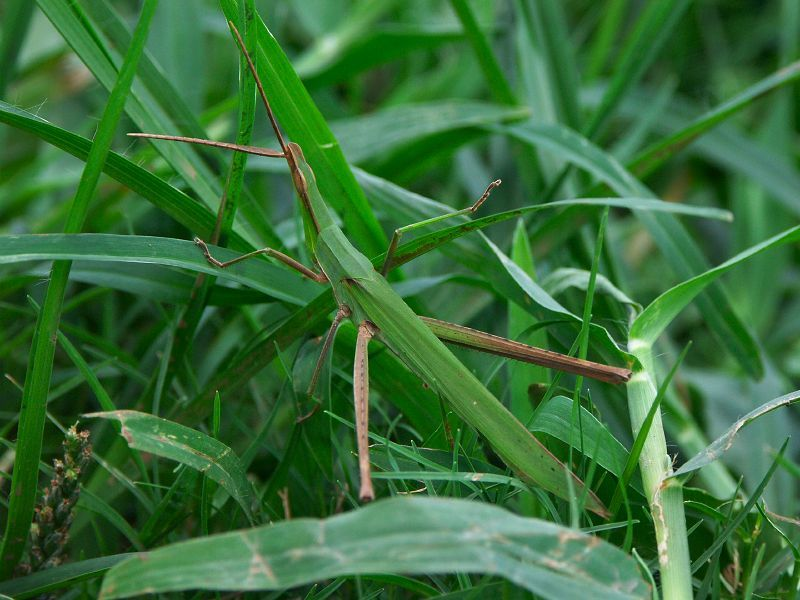 Image of Chinese Grasshopper