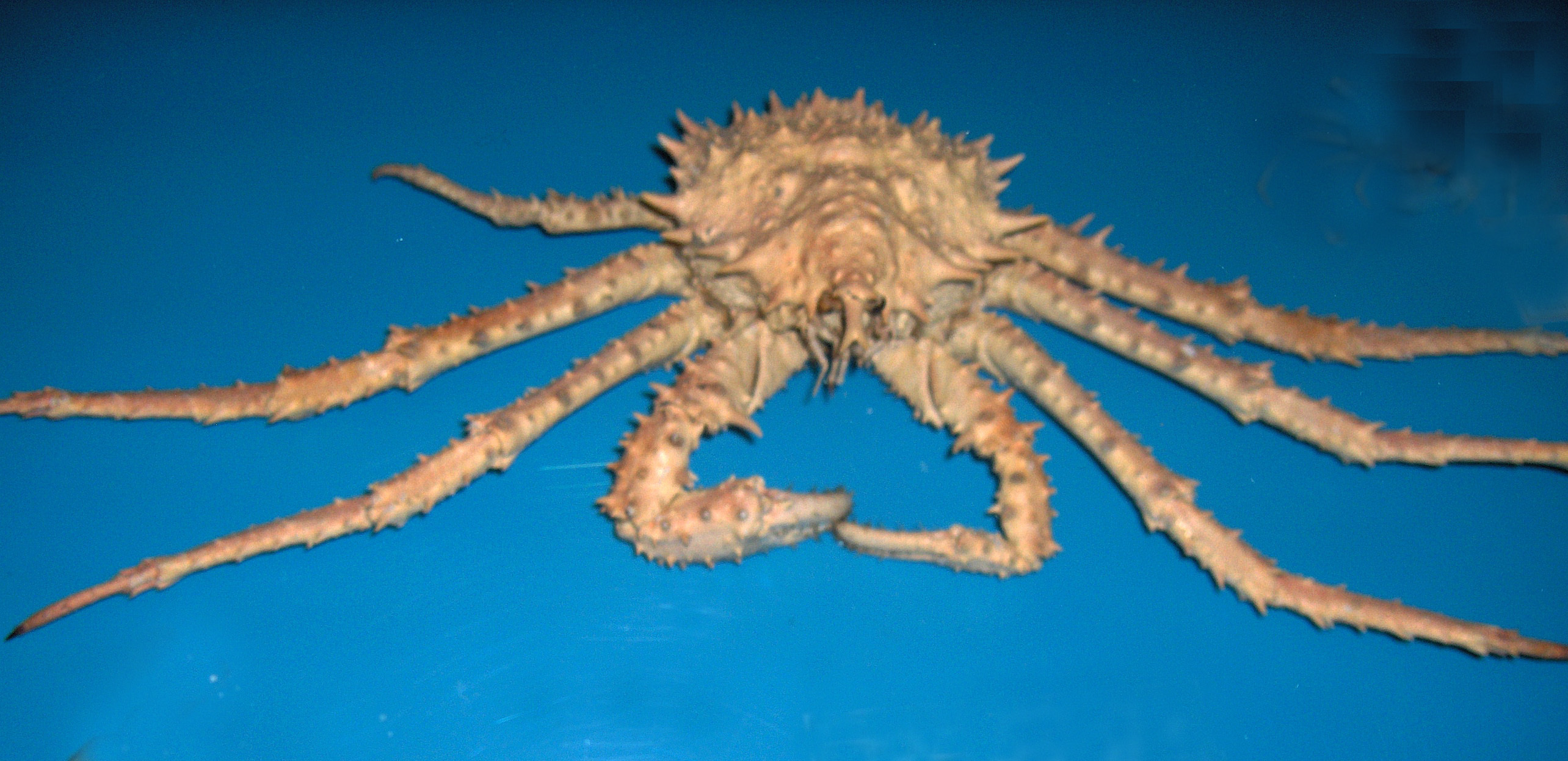 Image of Norway crab
