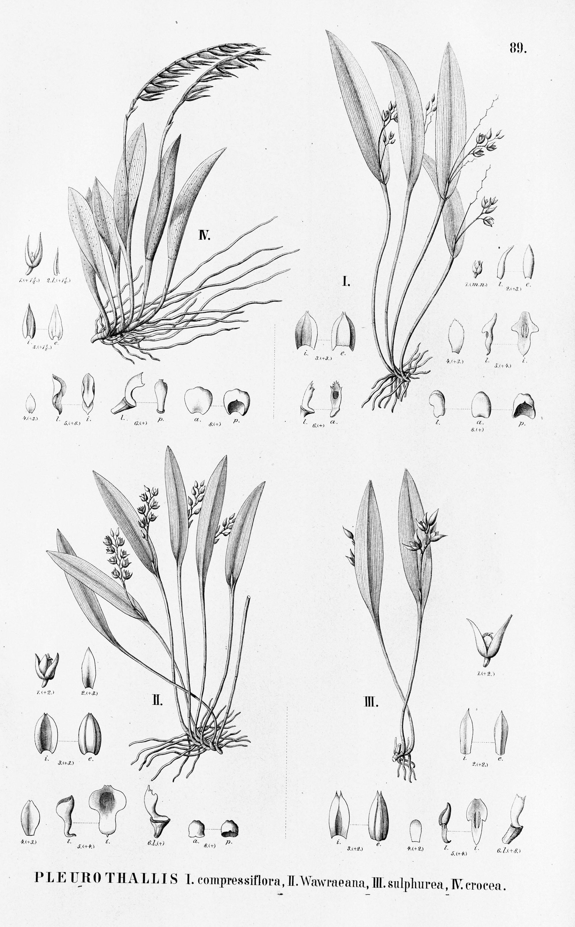 Image of <i>Acianthera glumacea</i> (Lindl.) Pridgeon & M. W. Chase
