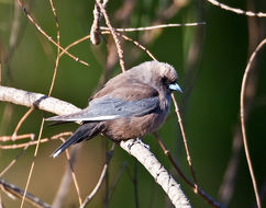 Image of Woodswallow