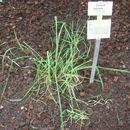 Image of Rhodes grass