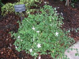 Image of <i>Pseuderanthemum tuberculatum</i>