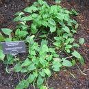Image of <i>Spathicarpa hastifolia</i> Hook.