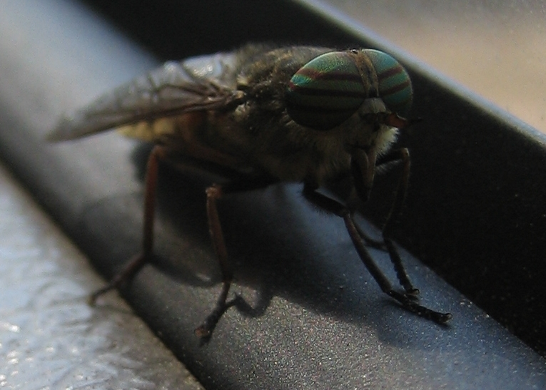 Image of pale giant horse-fly