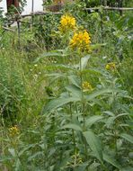 Image of Yellow Loosestrife
