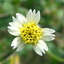 Image of tridax