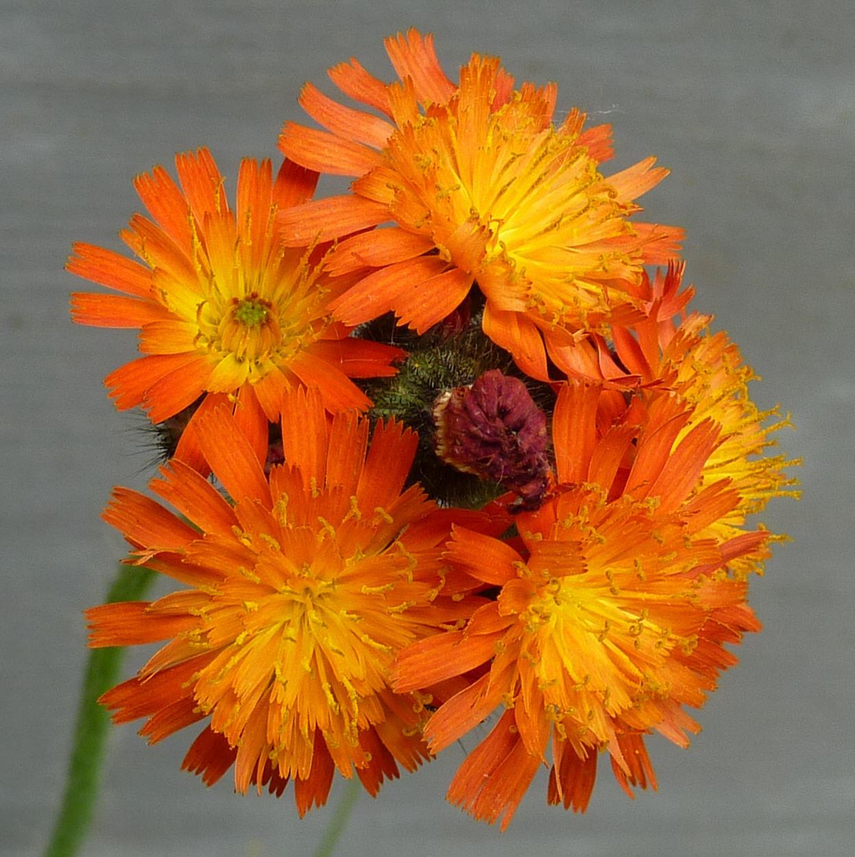 Image of <i>Hieracium aurantiacum</i>