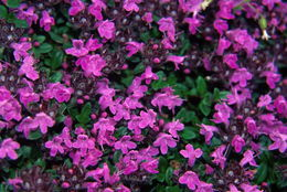 Image of breckland thyme