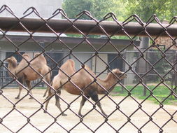 Image of Bactrian camel