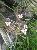 Image of flowering rush