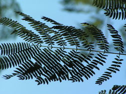 Image of pacara earpod tree