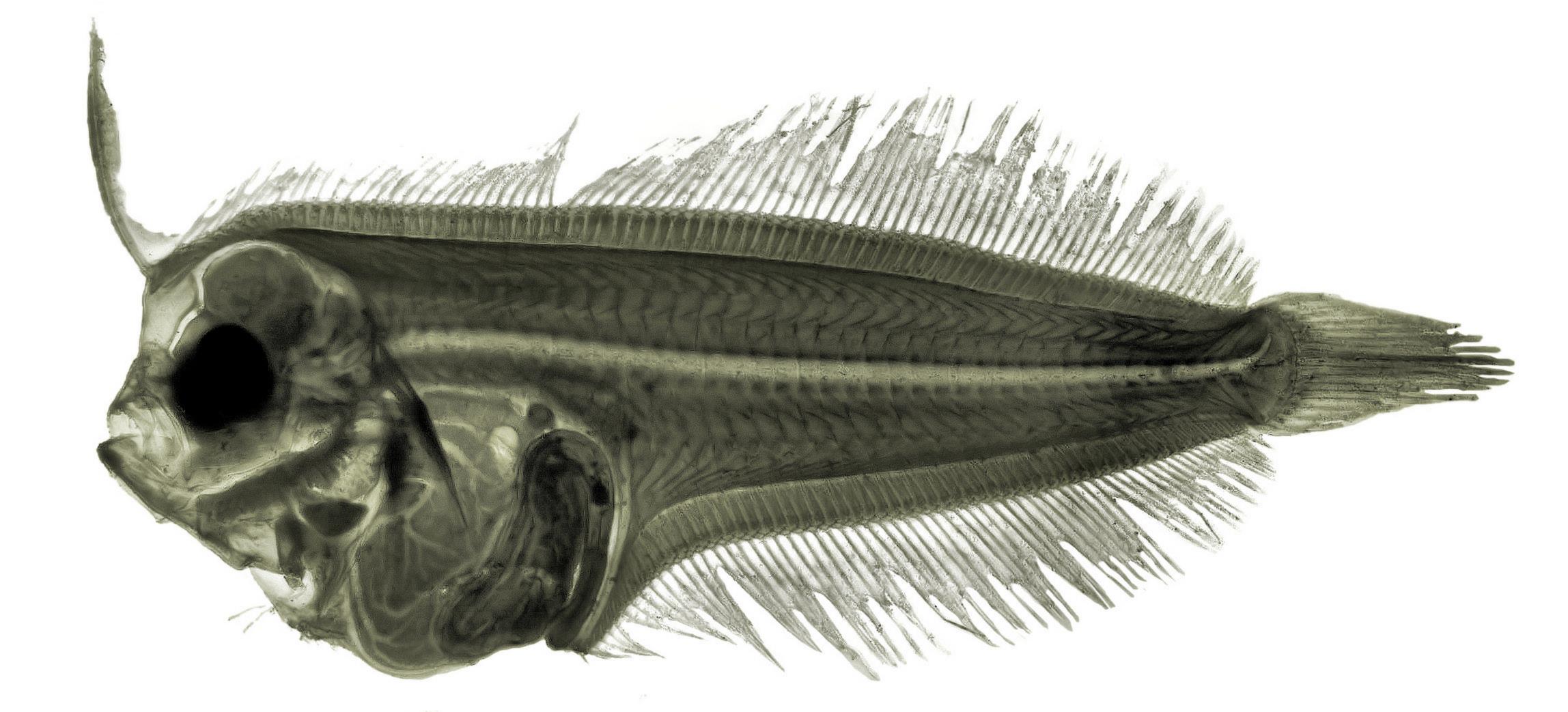 Image of Mediterranean Scaldfish