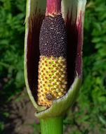 Image of Dragon Lily
