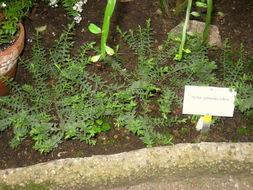 Image of <i>Hebe pimeleoides</i>