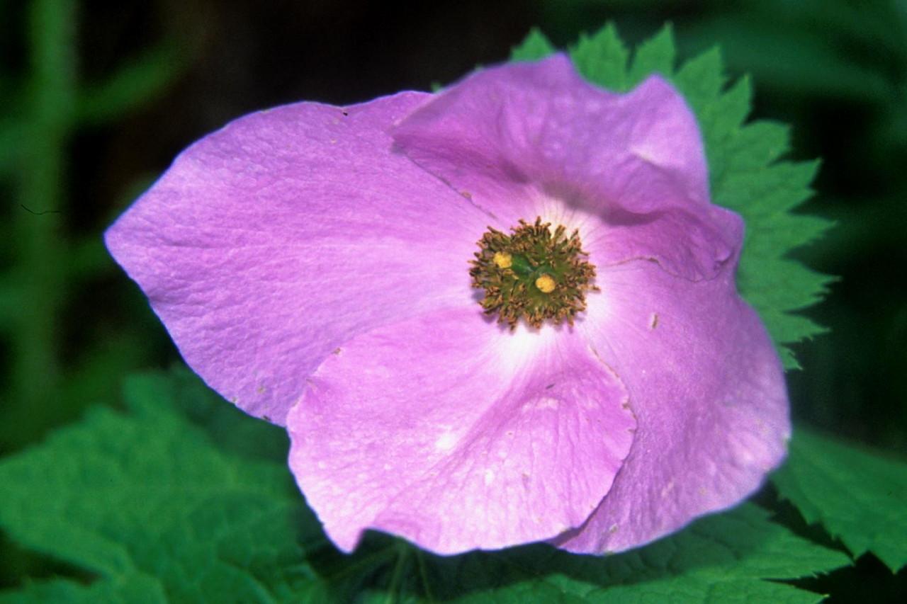 Image of Japanese Wood Poppy