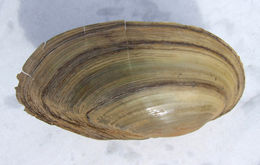 Image of Swan Mussel
