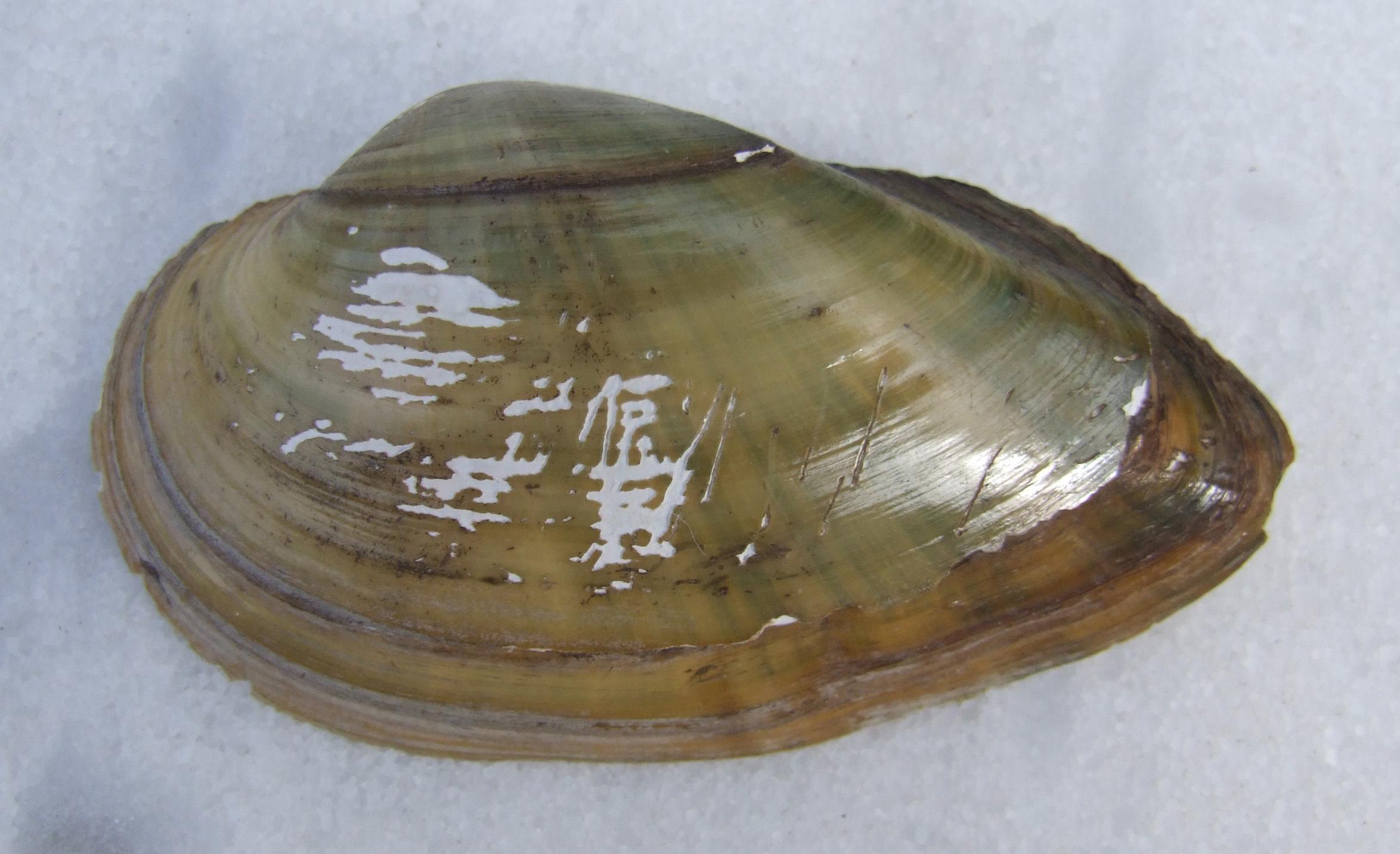 Image of Swollen River Mussel