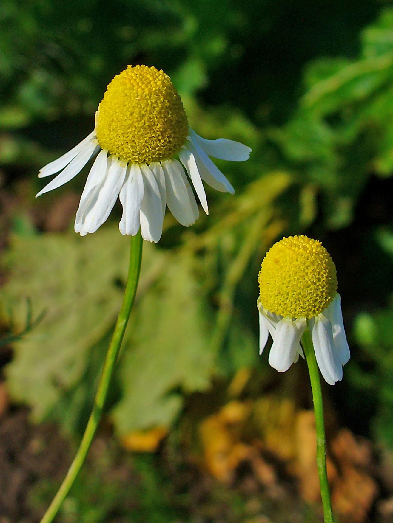 Image of False chamomile