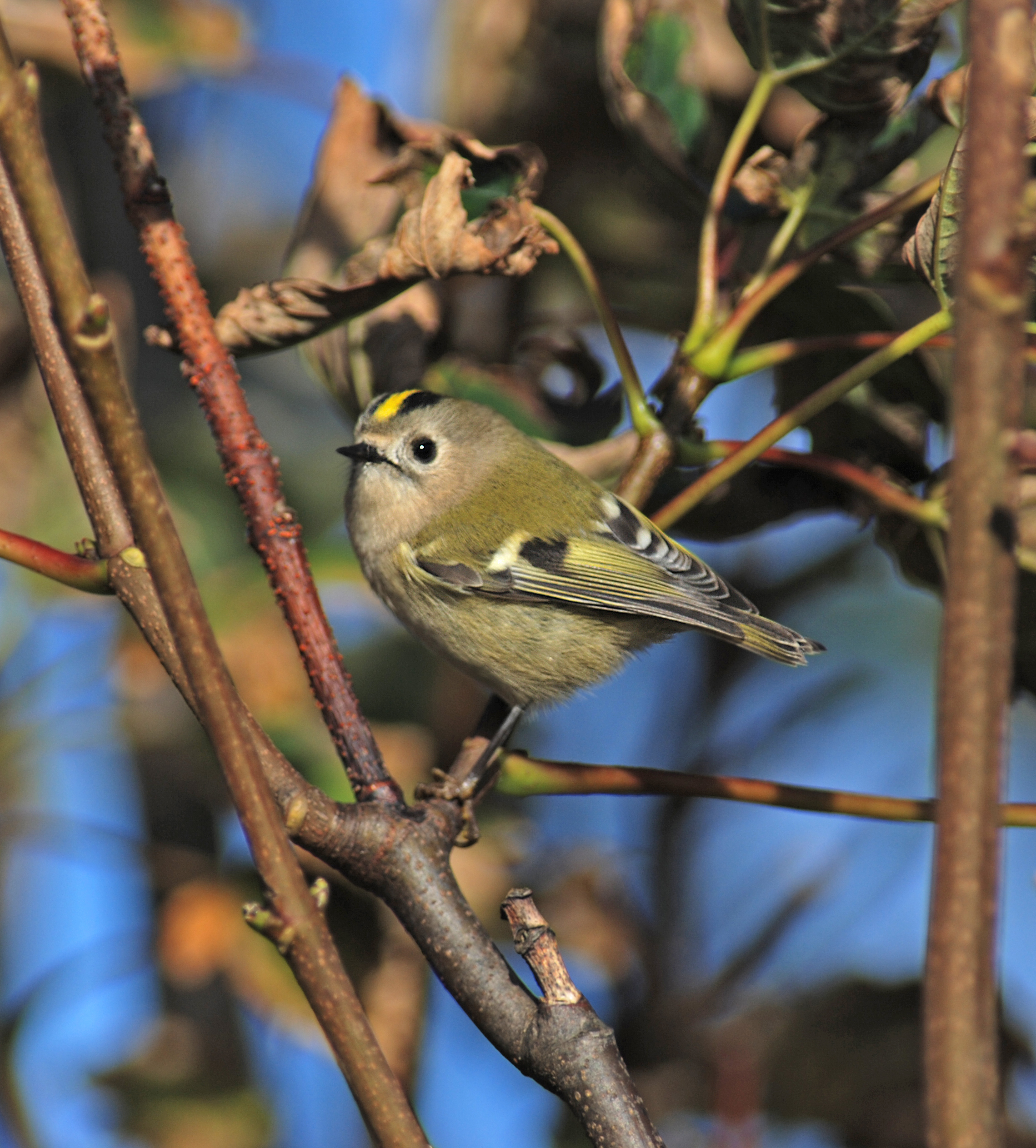 Image of Firecrest