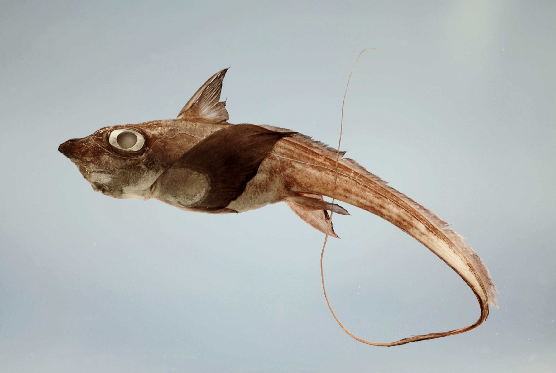 Image of Gulf Chimaera