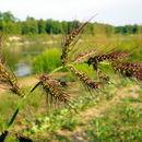 صورة <i>Echinochloa crus-galli</i> (L.) P. Beauv.